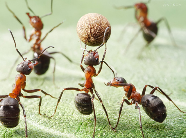 'The behavior of ants foraging for food may be mimicked in combinatorial optimization to yield near-optimal solutions.'